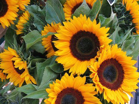 sunflowers (helianthus annuus) photo