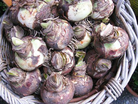 amaryllis bulbs in a basket photo
