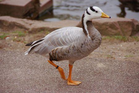 headed: Bar headed goose (anser indicus)