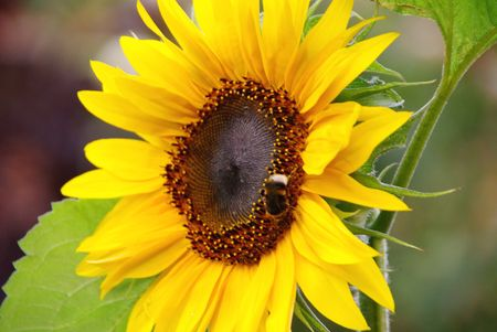 helianthus annuus: A sunflower (helianthus annuus) with a bee Stock Photo