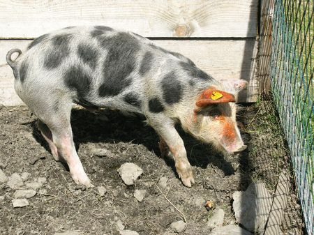 A spotted pig Stock Photo - 5743986