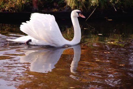 A furious mute swan (cugnus olur)