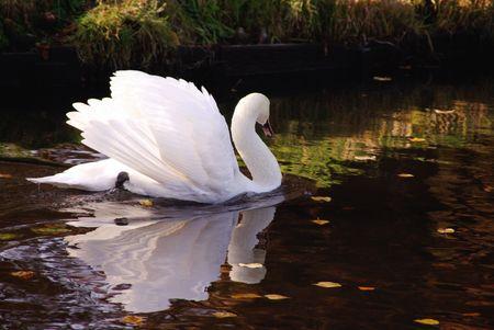 A furious mute swan (cugnus olur) Stock Photo - 5810195