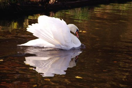 incensed: A furious mute swan (cugnus olur)