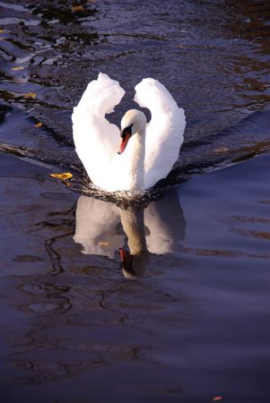 bowing head: A furious mute swan (cugnus olur)