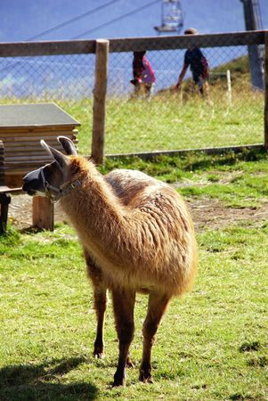fuegen: A llama in a pasture in the mountains Stock Photo