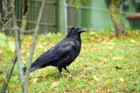 A crow i9n the grass photo
