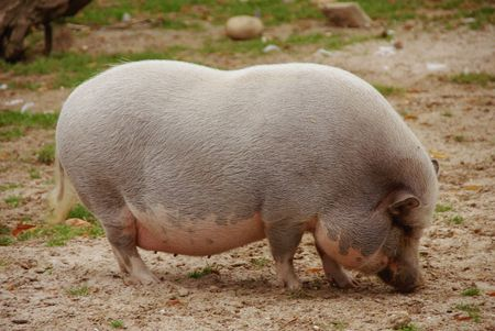 Pot bellied pigs Stock Photo - 5855410