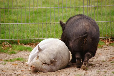 Pot bellied pigs photo