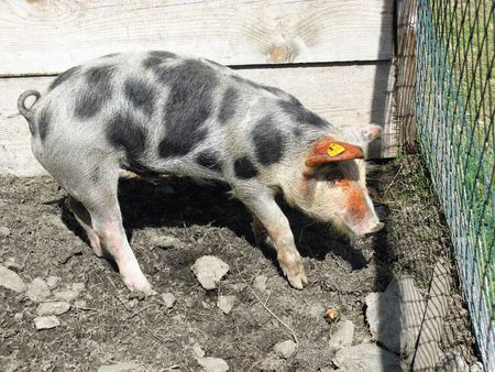 A spotted pig Stock Photo - 5856037