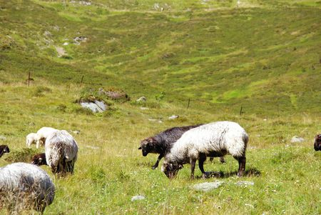 fuegen: Sheep in the mountains of the Aystrian Alps