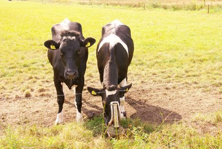 Two young cows photo