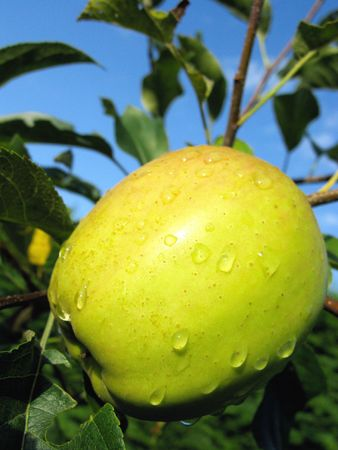 An apple with raindrops photo