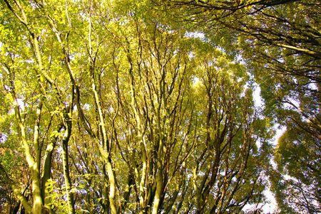 Tree canopies of the European hornbeam (carpinus betulus fastigiata) Stock Photo - 5896693