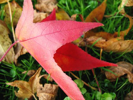 Leave of a redgum or American sweetgum  (liquidamber styraciflua) photo