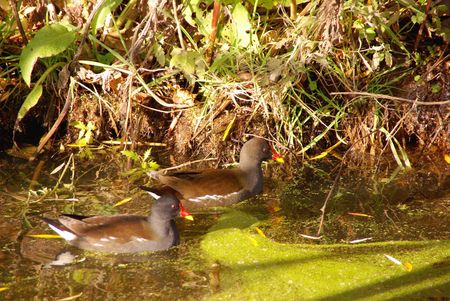 expended: Common moorhens (gallinula chloropus) in a ditch Stock Photo