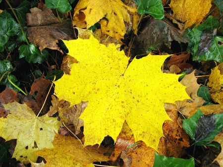 acer platanoides: The leaves of a norway maple (acer platanoides) in autumn