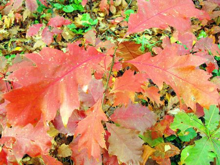 seasonally: The leaves of a champion oak (quercus rubra) in autumn