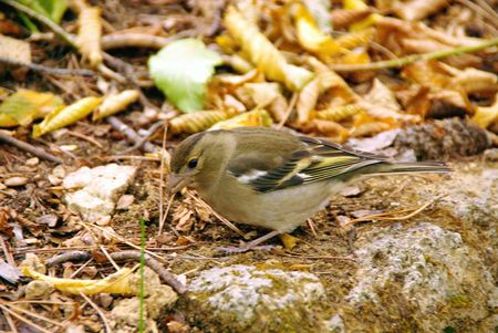 A female chaffinch (Fringilla coelebs) in autumn Stock Photo - 5942110