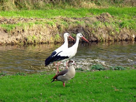 Two storks and a Egyptian goose photo