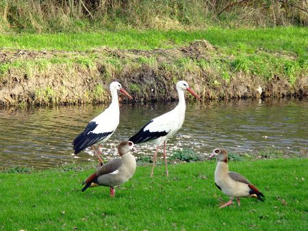 Two storks and Egyptian geese photo