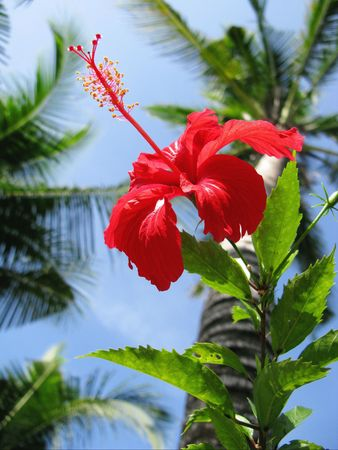 a red flower of the hibiscus plant photo