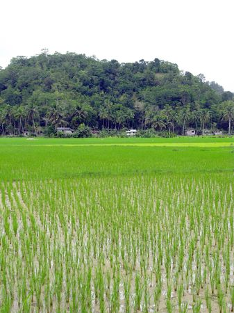 Rice fields in the lowlands of the Philippines Stock Photo - 6149205