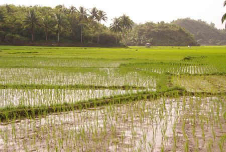 Rice fields at the lowlands of the Philippines Stock Photo - 6149204