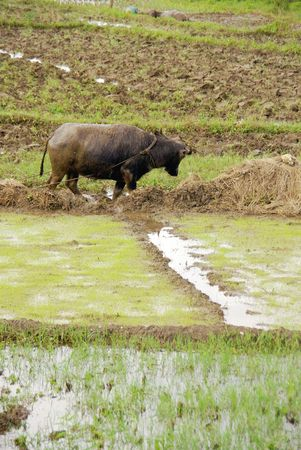 agronomic: A working buffalo at the rice fields in the Philippines
