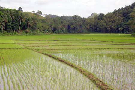 Rice fields in the lowlands of the Philippines Stock Photo - 6149197