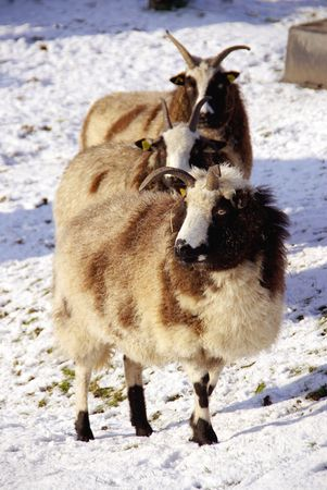 Sheep in a meadow with snow Stock Photo - 6222909