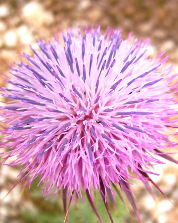 musk: Musk or Nodding thistle (carduus nutans)
