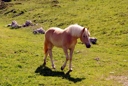 Haflinger horse in the Alps photo