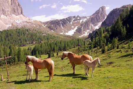 Haflinger horses in the Alps photo