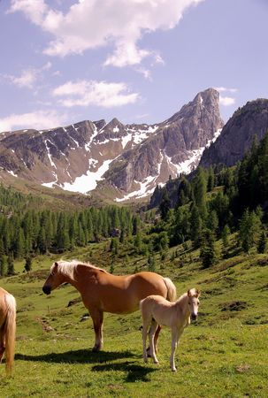 Haflinger horses in the Alps Stock Photo