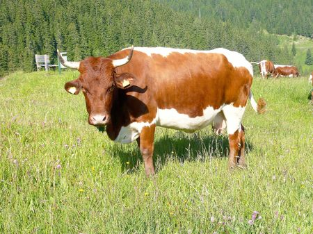 Cow along a road in the Alps photo