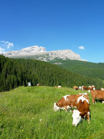 Cows in a meadow in the Alps photo