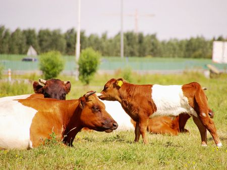 white headed: Dutch belted cows