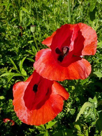berm: Red poppy flowers in the berm