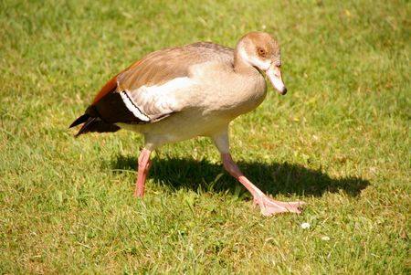 An Egyptian goose at a grassland photo