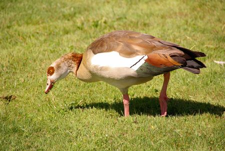 A grazing Egyptian goose Stock Photo - 7390006