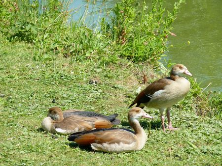 Young Egyptian geese  (Alopochen aegyptiacus) in a park photo