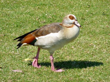 An Egyptian geese (Alopochen aegyptiacus) in a park photo