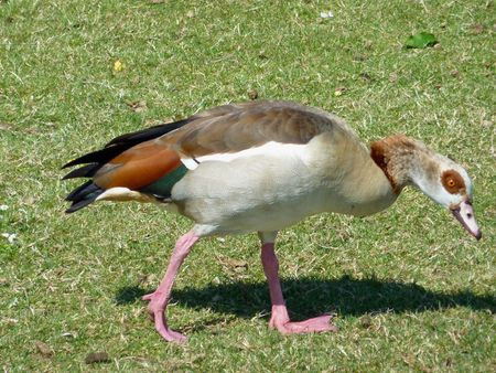 alopochen: An Egyptian geese (Alopochen aegyptiacus) in a park Stock Photo