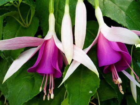 fuschias: Flowering fuchsia plants