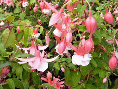 Flowering fuchsia plants