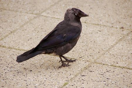 A jacjdaw (corvus monedula) photo