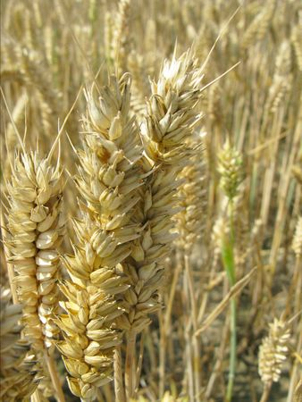 reaping: Reaping wheat in a field