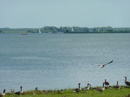 overflakkee: Greyleg geese (anser anser)