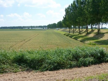 Trees in perspective at a dike along an agricultural field